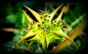 Tribulus terrestris Pronabolin bogus ingredients